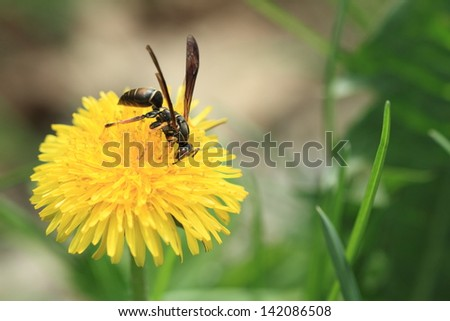 Paper wasp feeding on a dandelion flower - stock photo