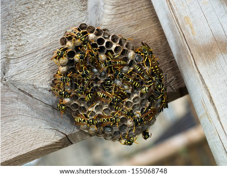 Paper wasp nest on wooden fence. Polistes dominula. - stock photo