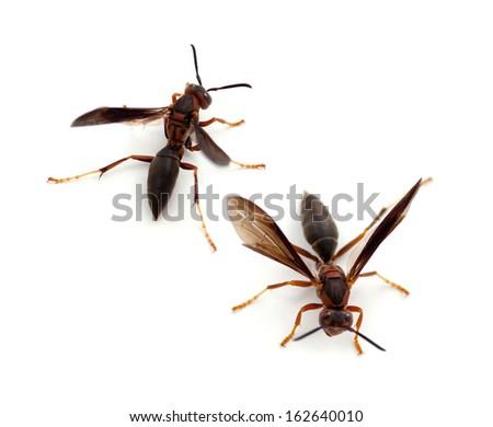 Paper Wasp (Polistes metricus) - stock photo