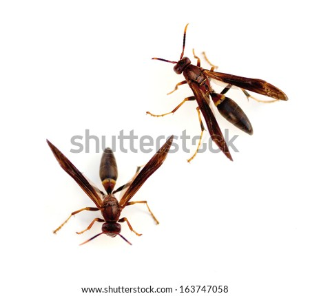 Paper Wasps (Polistes annularis) - stock photo