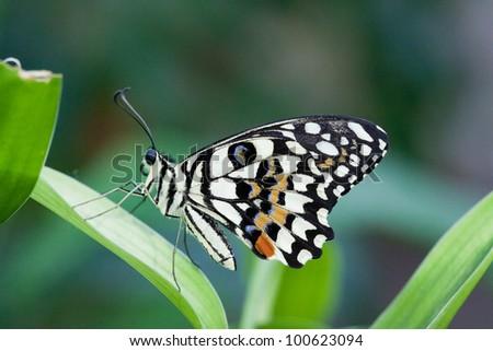 Papilio demoleus butterfly - stock photo