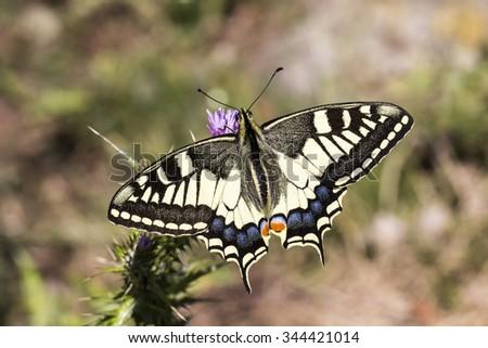 Papilio machaon, Schwalbenschwanz - Papilio machaon, Swallowtail butterfly from Italy, Papilio machaon, Swallowtail butterfly from Italy, Europe - stock photo