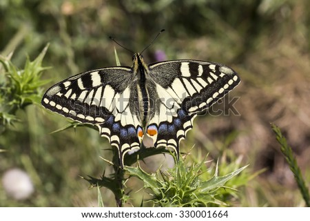 Papilio machaon, Swallowtail butterfly from Italy, Europe Europe - stock photo