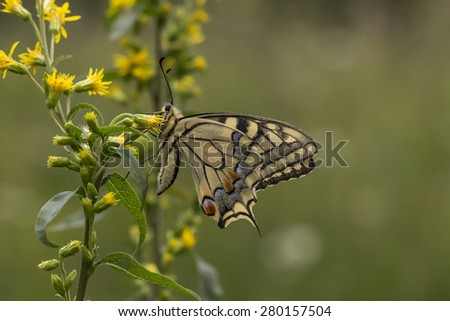 Papilio machaon, Swallowtail butterfly from Lower Saxony, Germany - stock photo