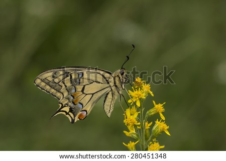 Papilio machaon, Swallowtail butterfly from Lower Saxony, Germany, Europe - stock photo