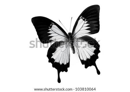 papilio ulysses isolated on white
