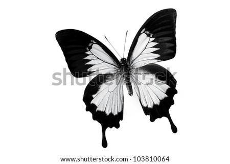 papilio ulysses isolated on white - stock photo
