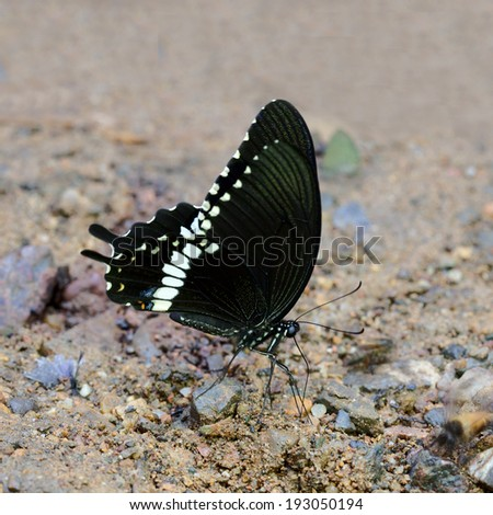 Papilionidae Butterfly (Papilio polytes romulus Common Mormon). - stock photo