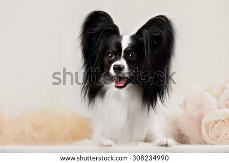 Papillon breed dog on a white background - stock photo
