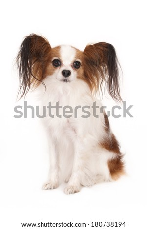 Papillon (butterfly dog), isolated on white