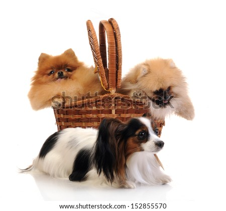 Papillon - Continental Toy Spaniel and spitz, Pomeranian dog in studio shot  - stock photo