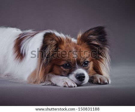 papillon dog - stock photo