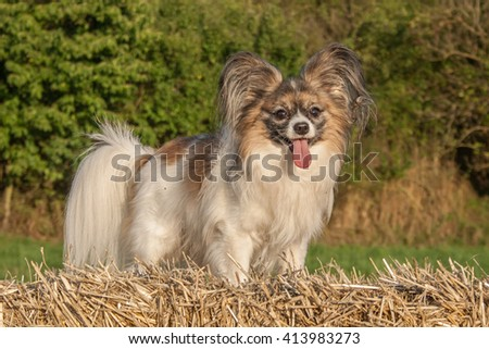 Papillon dog Issac of Erebia Manto on a straw bale in nature,.