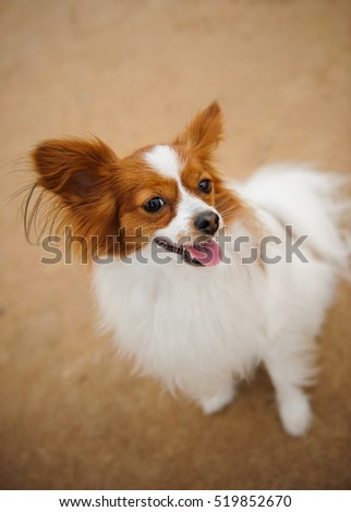 Papillon dog outdoors looking up from ground