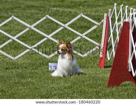 Papillon Dog sitting in obediance ring at outdoors dog show - stock photo