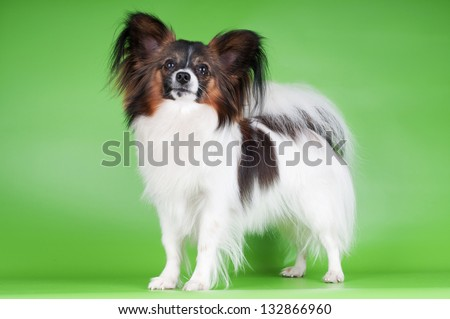 papillon dog standing on green background