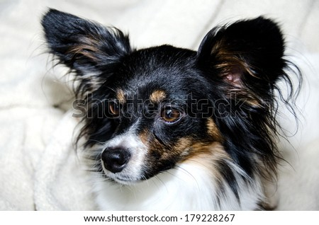 Papillon headshot
