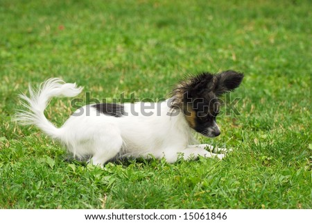 Papillon in front of