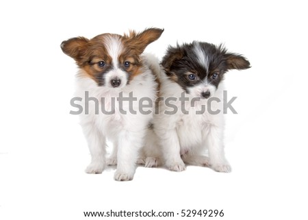 Papillon, Phalène, Butterfly-Dog, Squirrel-Dog in front of a white background
