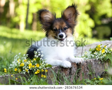 papillon puppy - stock photo