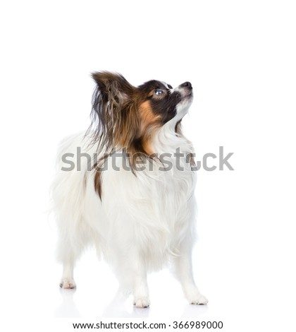 Papillon puppy looking up. isolated on white background - stock photo