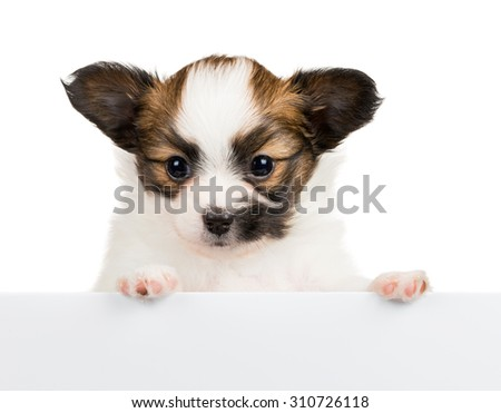 Papillon puppy, 1 month old, relies on blank banner. White background - stock photo