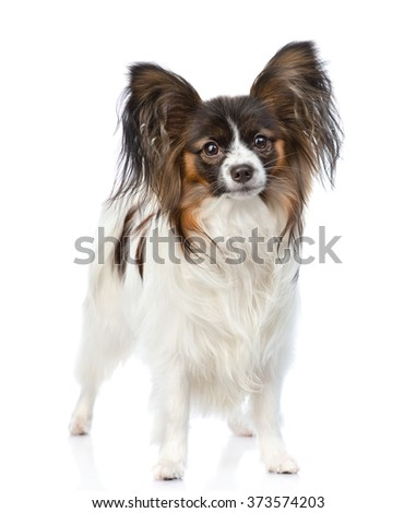 Papillon puppy standing in front view. isolated on white background