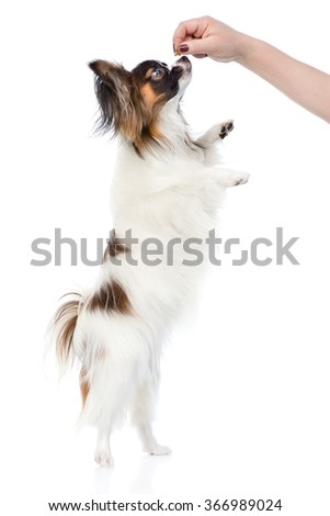Papillon puppy standing on hind legs. isolated on white background - stock photo