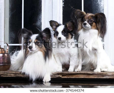 Papillons family, mom, dad and puppy  - stock photo
