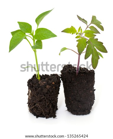 paprika and tomato seedlings isolated on white