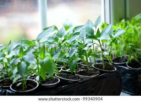 paprika plants in pots on window sill - stock photo