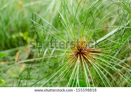 papyrus green plant as background abstract - stock photo