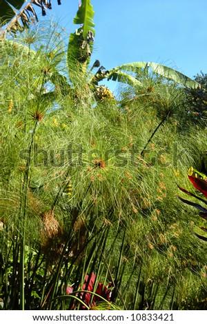 Papyrus grows in garden on the island of Kauai, Hawaii.  Blue skies. - stock photo