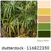 Papyrus plant background with complimentary colour swatches. Papyrus was used by the ancient Egyptians as a raw material to make paper. - stock photo