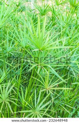 papyrus plants - stock photo