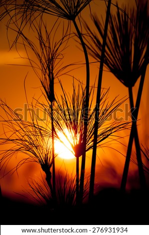 Papyrus plants are silhouetted against the read and orange sky of sunset in the Okovango Delta. - stock photo