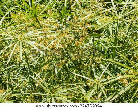 Papyrus sedge (Cyperus papyrus) is a species of aquatic flowering plant belonging to the sedge family Cyperaceae - stock photo