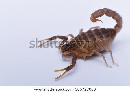 Parabuthus transvaalicus Scorpion Aggressive scorpion - stock photo