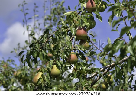 Paradise pear in a orchard ready to pick - stock photo