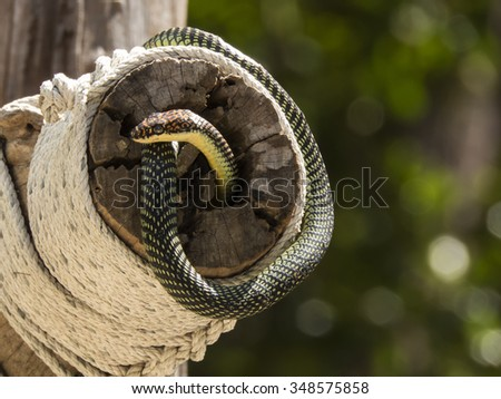 paradise tree snake or paradise flying snake on a rope in Koh Adang, Thailand - stock photo