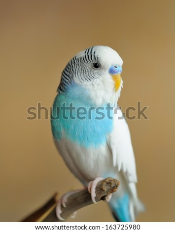 parakeet - stock photo