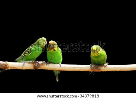 parakeet , Melopsittacus undulatus - stock photo