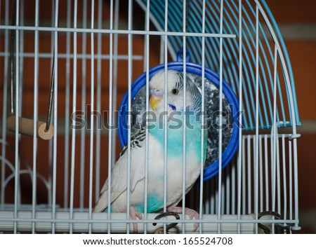 Parakeet posing for in a metal caged - stock photo