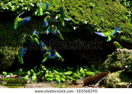 Parakeets in a clay licking cave, Yasuni Ecuador - stock photo