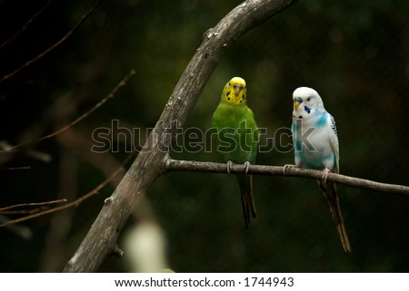 Parakeets in a tree. Very colorful. - stock photo