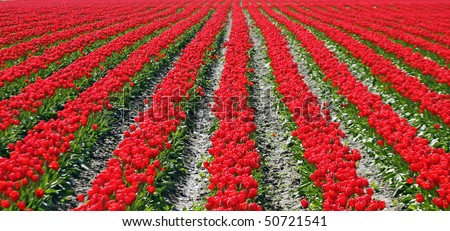 Parallel rows of vibrant red tulips stretch to infinity