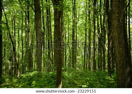 Parallel trees in the forest. - stock photo