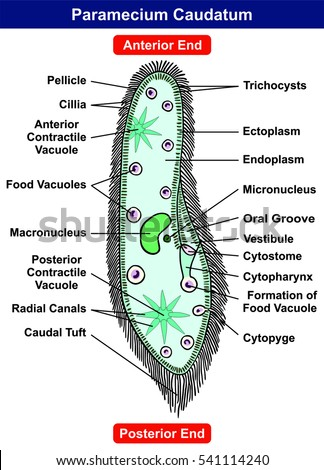 protist stock images, royalty-free images & vectors ... a diagram of a cochlea spiral organ region of #15