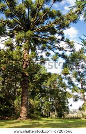 Parana pine tree, Araucaria angustifolia - Araucariaceae. Araucaria is a endangered specie by deforestation. - stock photo