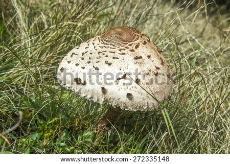 Parasol Mushroom (Macrolepiota Procera) - stock photo